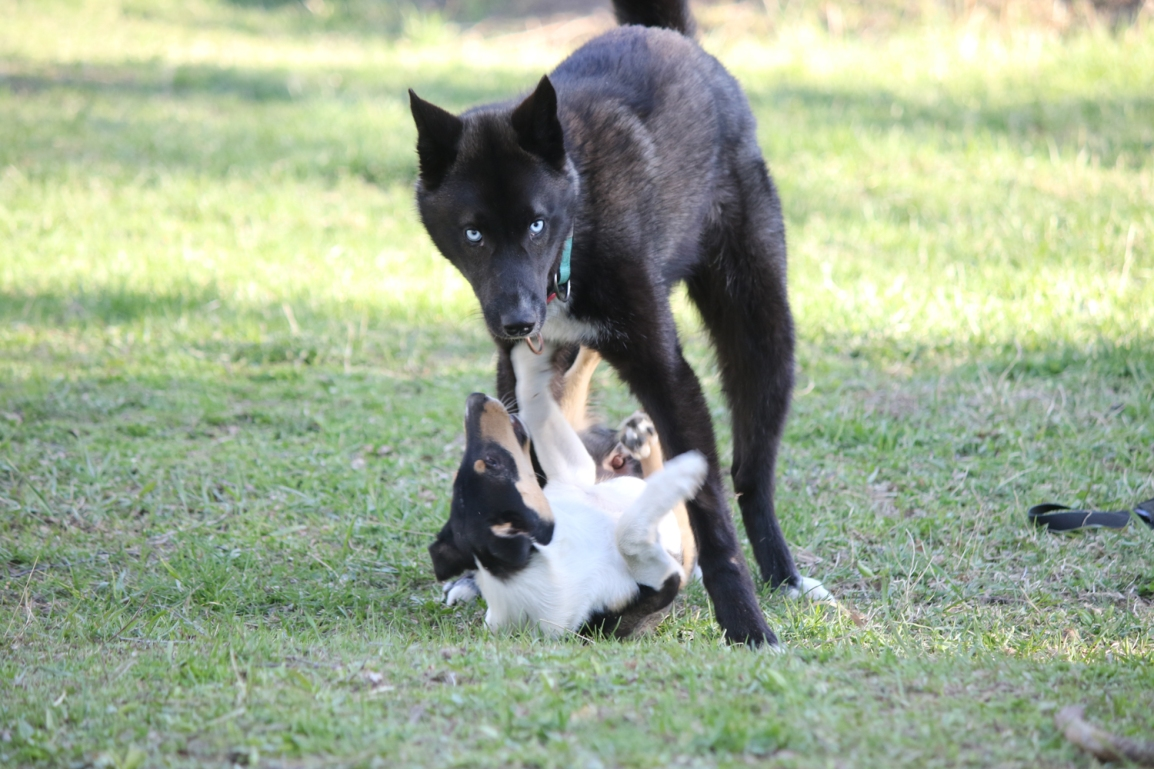 Miksi koira puree? Katriina Tiira2019